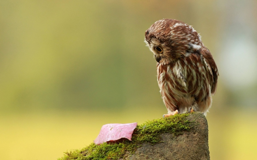 cute-owl-wallpaper-15780-16263-hd-wallpapers