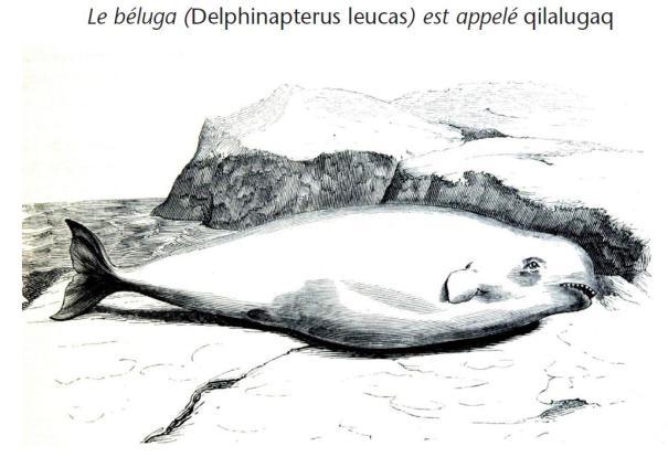 Beluga. Illustration extraite de la page 216 du livre.